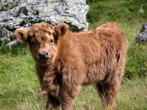 highland calve